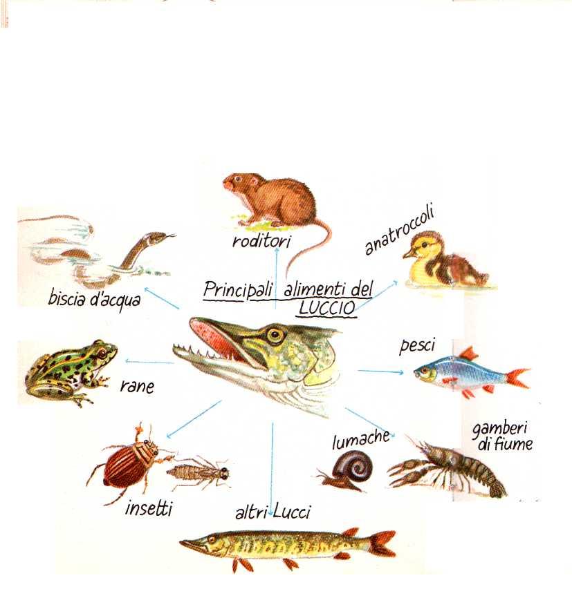 I lucci hanno squame piccole e mascelle grandi for Pesci di fiume